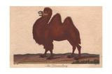 Dromedary Camel Camelus Dromedarius Giclee Print