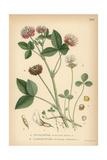 White Clover, Trifolium Repens, and Alsike Clover, Trifolium Hybridum Giclee Print
