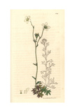 Trifid Hairy Saxifrage, Saxifraga Rosacea Subsp Hartii Giclee Print by James Sowerby