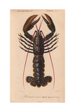 Blue Lobster (Homarus Vulgaris), with Dark Blue Shell Flecked with Gold Giclée-tryk