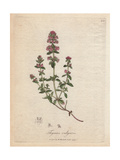 Thyme, Thymus Vulgaris Giclee Print by James Sowerby