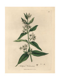 Swallowwort Giclee Print by James Sowerby