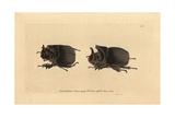 Midas Beetle, Heliocopris Midas Giclee Print
