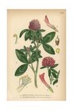 Red Clover, Trifolium Pratense, and Zigzag Clover, Trifolium Medium Giclee Print