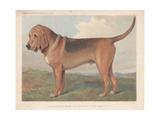 Bloodhound Giclee Print