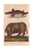 Mythical -Sukotyro- and Duck-Billed Platypus Ornithorhynchus Anatinus, Sukotyro Imlieus Giclee Print