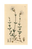 Sea Campion, Silene Maritima Giclee Print by James Sowerby