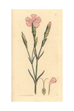 Clove Pink or Carnation, Dianthus Caryophyllus Giclee Print by James Sowerby