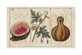 Fruit and Flowers of the Watermelon, Citrullus Lanatus, and Calabash Gourd Cucumis Lagenaria Giclee Print