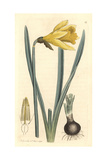 Common Daffodil, Narcissus Pseudo-Narcissus Giclee Print by James Sowerby