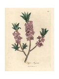 Pink-Flowered Mezereon, Daphne Mezereum Giclee Print by James Sowerby
