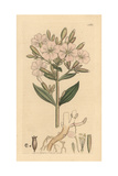 Soapwort, Saponaria Officinalis Giclee Print by James Sowerby