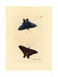 Meliboeus Swordtail, Ancyluris Meliboeus Giclee Print by Richard Polydore Nodder