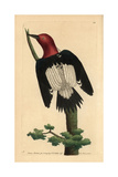 Red-Headed Woodpecker, Melanerpes Erythrocephalus Giclee Print