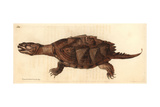 Snapping Turtle, Chelydra Serpentina Giclee Print by Richard Polydore Nodder