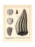 Extinct Marine Lizard Mosasaur Tooth Fossil Giclee Print