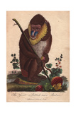 Great Ribbed-Nose BaboonMandrillus Sphinx Giclee Print