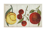 Varieties of Oranges- Bitter Orange, Sweet Orange, and Kumquat, C Sinensis, C Japonica Giclee Print