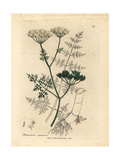 Fine-Leaved Water Hemlock Giclee Print by James Sowerby