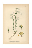 Fairy Flax, Linum Catharticum Giclee Print