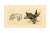 Ceiba Borer Beetle, Euchroma Gigantea Giclee Print