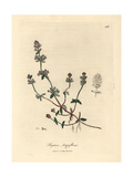 Purple Flowered Wild Thyme, Thymus Serpyllum Giclee Print by James Sowerby