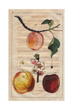 Apricot Varieties, Prunus Armeniaca- Apricot, Pineapple Apricot and Large Early Apricot Lámina giclée