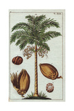 Areca Palm Tree with Fruit - Areca Nut Areca Catechu Giclee Print