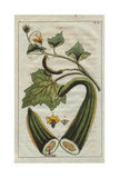 Cucumber with Yellow Flowers, Section of Fruit, Leaves, Tendrils, Cucumis Flexuosus Giclee Print