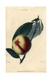 Fruit and Leaves of the Elruge Nectarine, Prunus Persica Impression giclée
