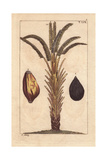 African Oil Palm Tree with Fruit, Elaeis Guineensis Giclee Print