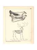 Skull of the Extinct Rhinoceros Schleirmacheri and Skeleton of the Extinct Irish Elk Giclee Print