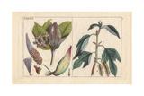 Milkweed, Asclepias Frutescens, Paper Mulberry, Broussonetia Papyrifera, Morus Papyrifera Giclee Print
