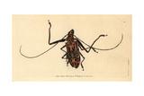 Harlequin Beetle, Acrocinus Longimanus Giclee Print