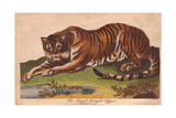 Royal Bengal Tiger, Panthera Tigris Tigris Giclee Print
