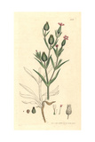 Corn Catchfly, Silene Conica Giclee Print by James Sowerby