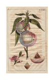 Fruit, Blossom, Stone and Segment of the Peach Tree, Amygdalus Persica Giclee Print