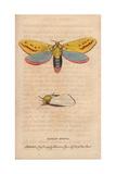 Ghost Moth Hepialus Humuli Giclee Print