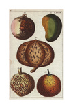 Varieties of Tropical Fruits- Mango, Mangosteen, Mammee Apple, Sapodilla and Custard Apple Giclee Print