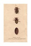 Morron Beetle of New South Wales, AustraliaEupoecila Australasiae Giclee Print