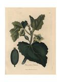 Yellow Flower, Leaves and Fruit of the Squirting Cucumber, Momordica Elaterium Giclee Print