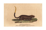 Gilt Tailed Dormouse, Myoxus Chrysurus Giclee Print