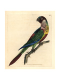 Scaly-Breasted Lorikeet, Trichoglossus Chlorolepidotus Giclee Print by Richard Polydore Nodder