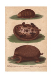 Cape or Siberian Mole and Common HedgehogErinaceus Europaeus, Scapanus Townsendii Giclee Print