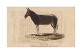 Wild MuleEquus Mulus Giclee Print