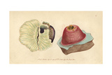 Sea Anemone or Anemone Actinia Giclee Print