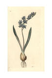 Two-Leaved Squill, Scilla Bifolia Giclee Print by James Sowerby