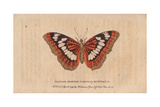 Chinese Spotted Tortoiseshell ButterflyNymphalis Giclee Print