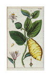 Citron Showing Fruit, Leaves and FlowersCitrus Medica Giclee Print