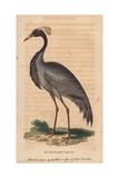 Numidian Crane, Demoiselle Crane or Dancing BirdAnthropoides Virgo Giclee Print